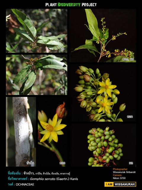 Xylia Xylocarpa: Thai Plant Pics: กุมภาพันธ์ 2012