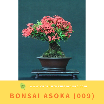 Bonsai Asoka (009)