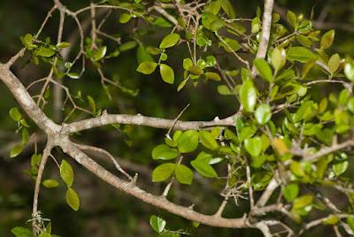 Guaminí (Myrcia selloi)