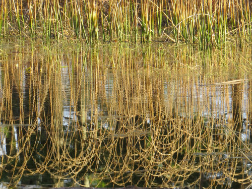 curved reeds