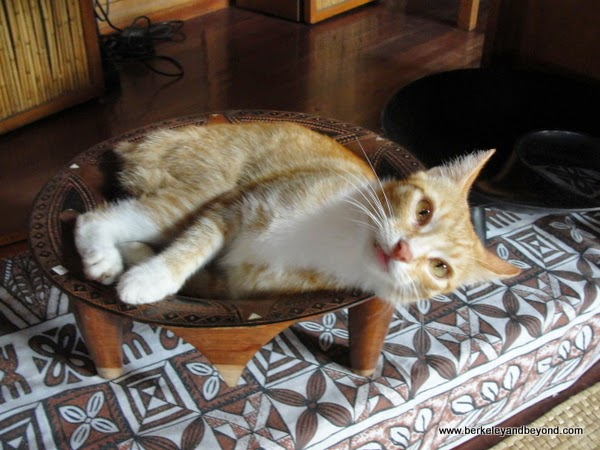 cat Popsicle hangs out in a kava bowl at the Coconut Grove resort on Taveuni Island in Fiji