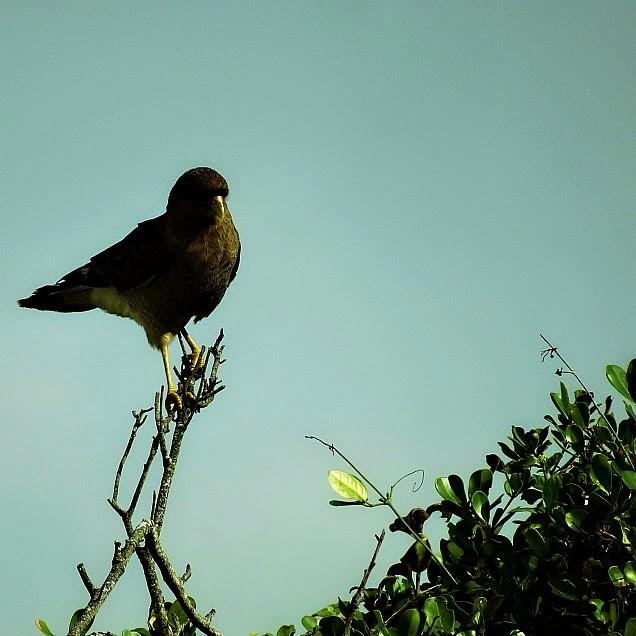Pássaro contemplativo na Prainha, em Palhoça