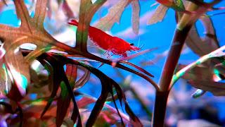 Red Cherry Shrimp Desktop Background