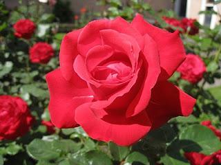 Tanaman Bunga yg Berkhasiat Obat Herbal