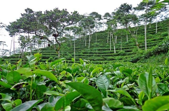 Kegiatan di kebun teh nglinggo