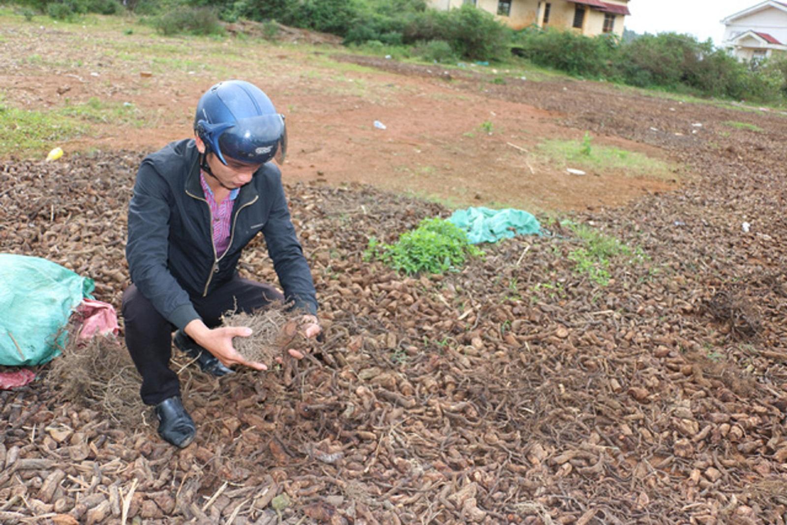 Gia Lai: Dân ồ ạt vào rừng đào rễ cây bán cho thương lái Trung Quốc