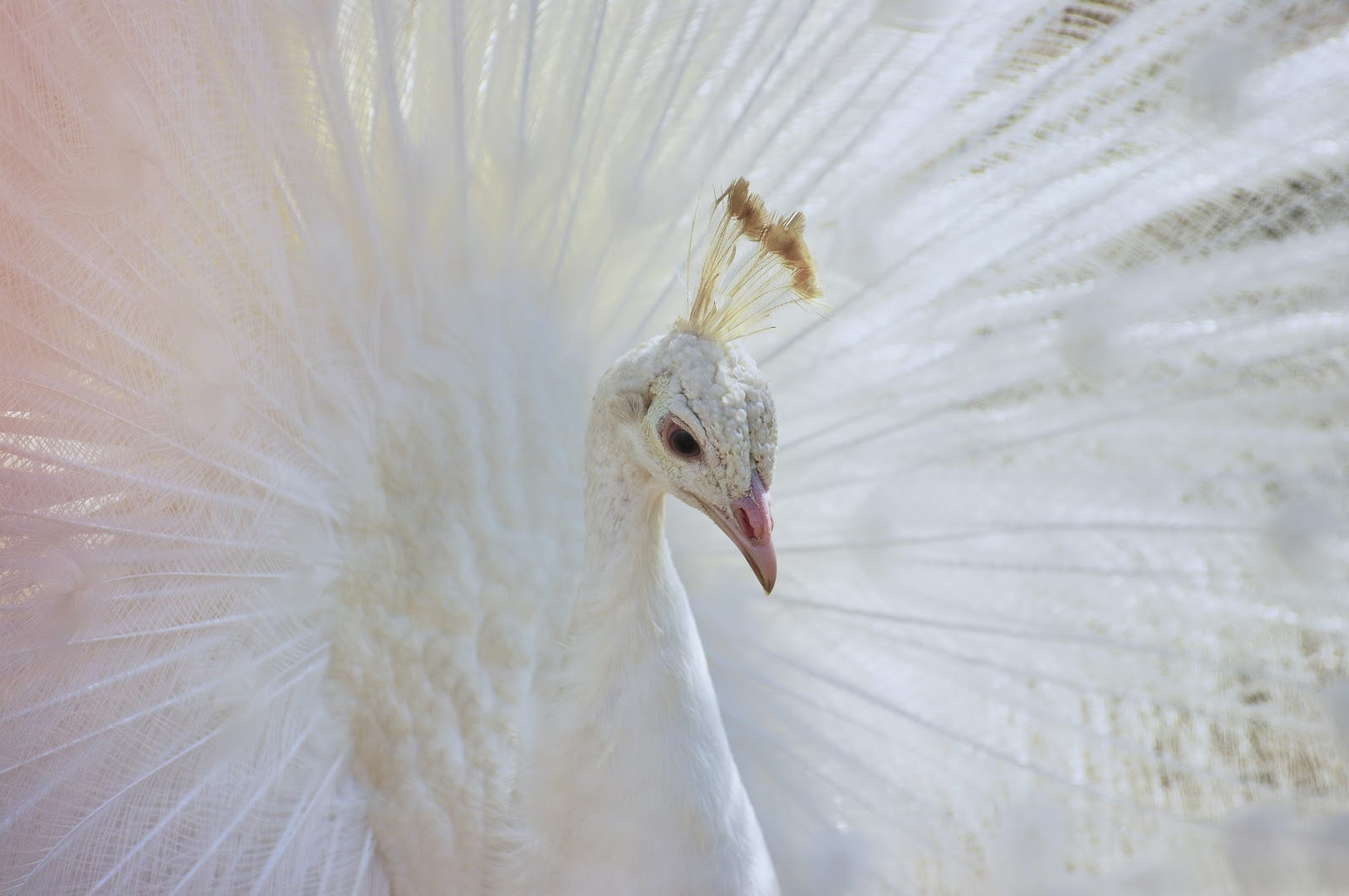 white-peacock-close-up-images
