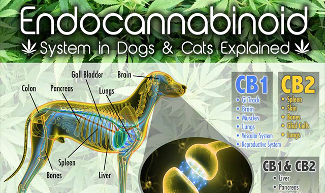 Explained endocannabinoid system in dogs and cats #infographic