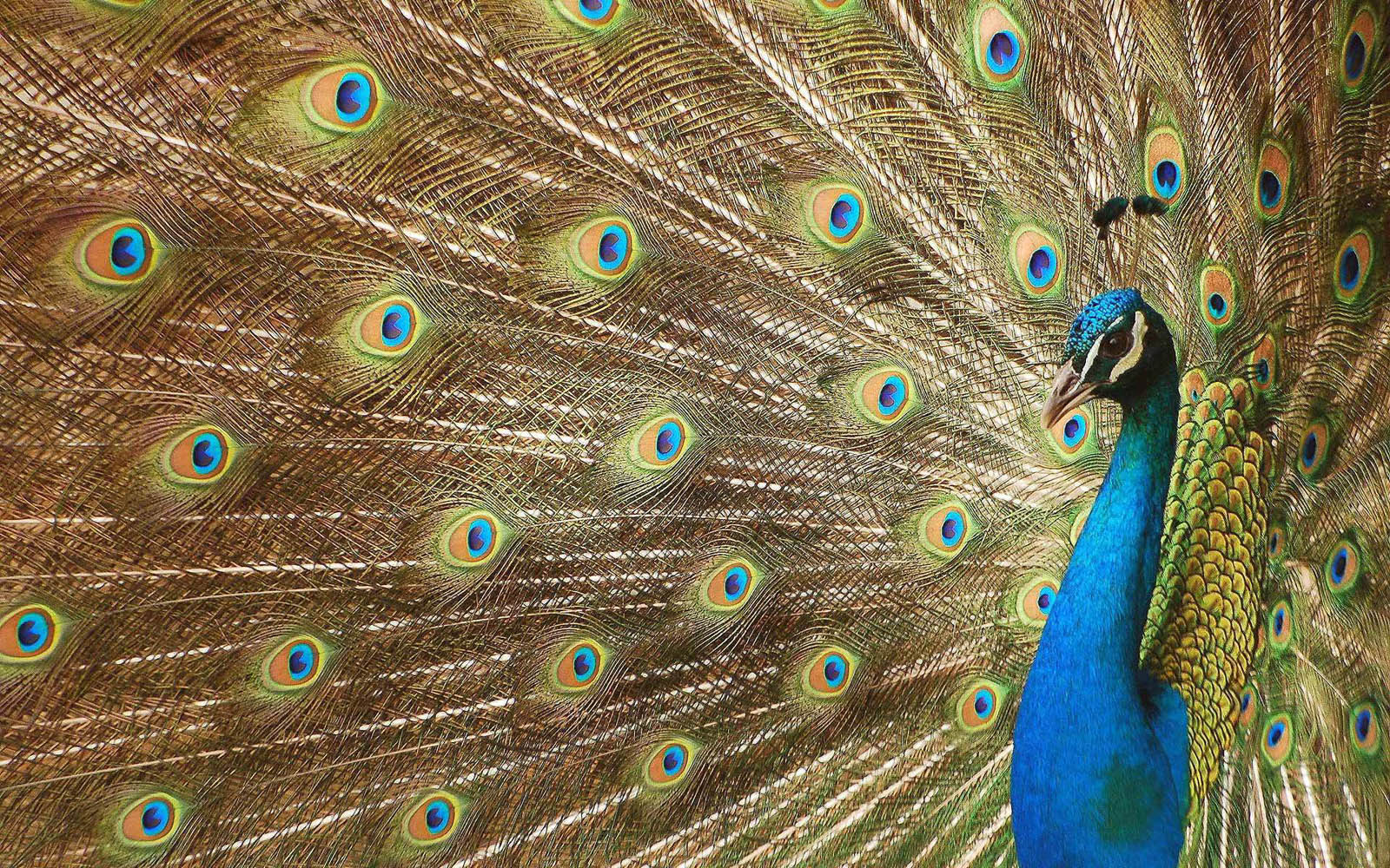 Wallpaper: Peacock Wallpapers
