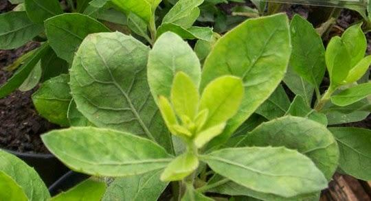 Obat Herbal Dari Daun Beluntas | Blog Kesehatan