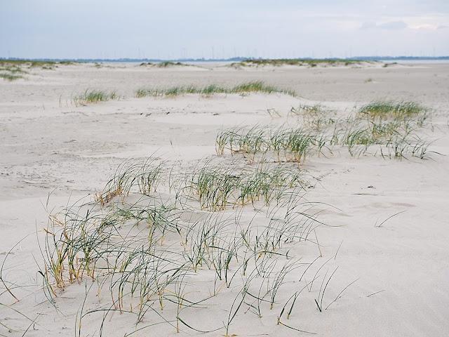 Strandquecken halten Sand fest. Erst Vordünen entstehen.