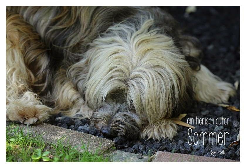 Anstatt auf dem Rasen liegt Tibet Terrier Chiru lieber auf dem kühlen Kies