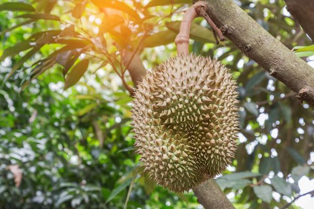 Gambar buah durian