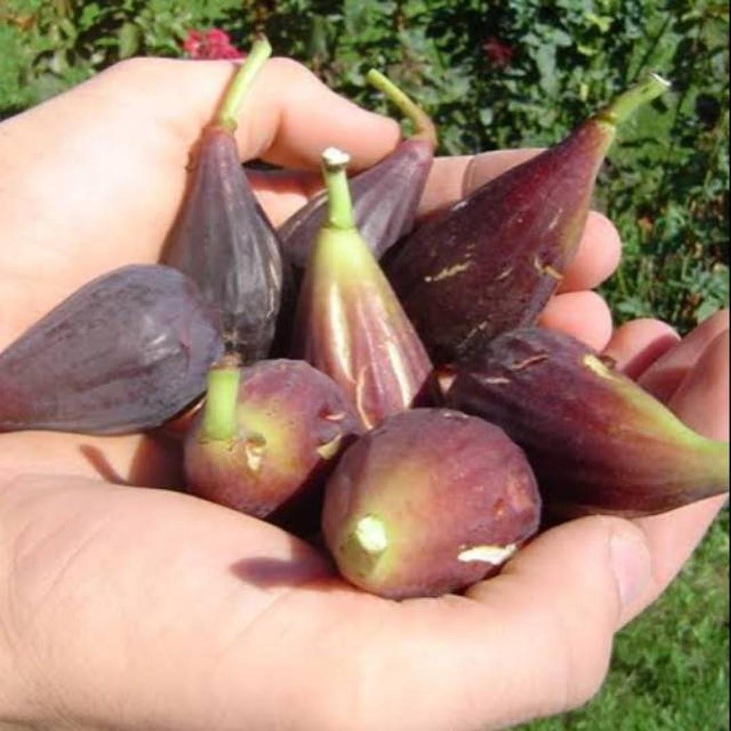 Bibit buah tin MORO DE CANEVA jenis buah tin unggul langka rajin berbuah Kota Administrasi Jakarta Selatan