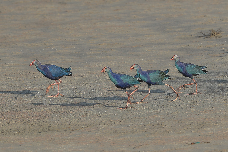 Grey-headed Swamphens