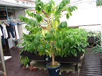 鉢植えのコーヒーの木