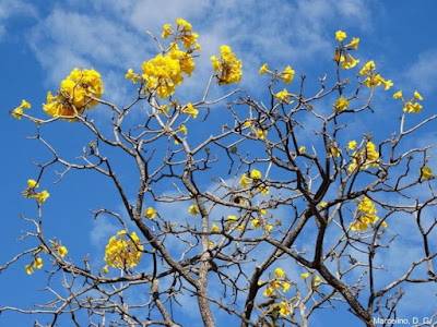 Flores de ipês, ipê amarelo, ipê rosa, ipê, flores, flor, inverno, natureza, flor, árvores, árvore ipê