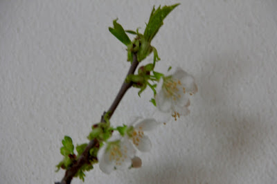 forced apple blossoms
