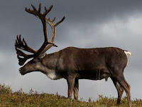 Caribou Animal Pictures