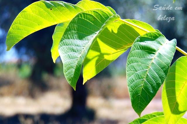 Propriedades e benefícios das folhas de nogueira na saúde