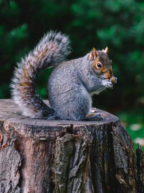 Grey Squirrel:Photo by Zuzanna J on Unsplash