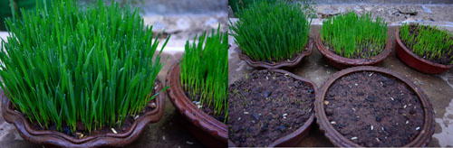 wheat grass growing at home