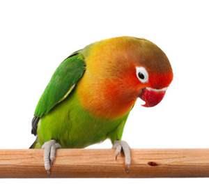 lovebird holland