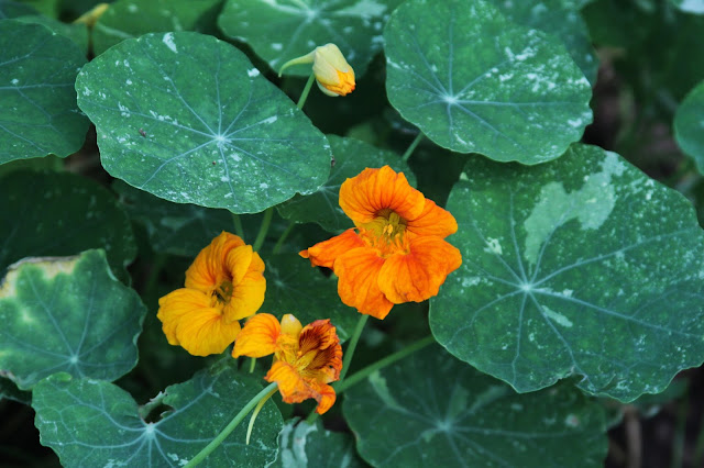 nasturtiums, variegated nasturtiums, summer flowers, garden flowers, Anne Butera, My Giant Strawberry