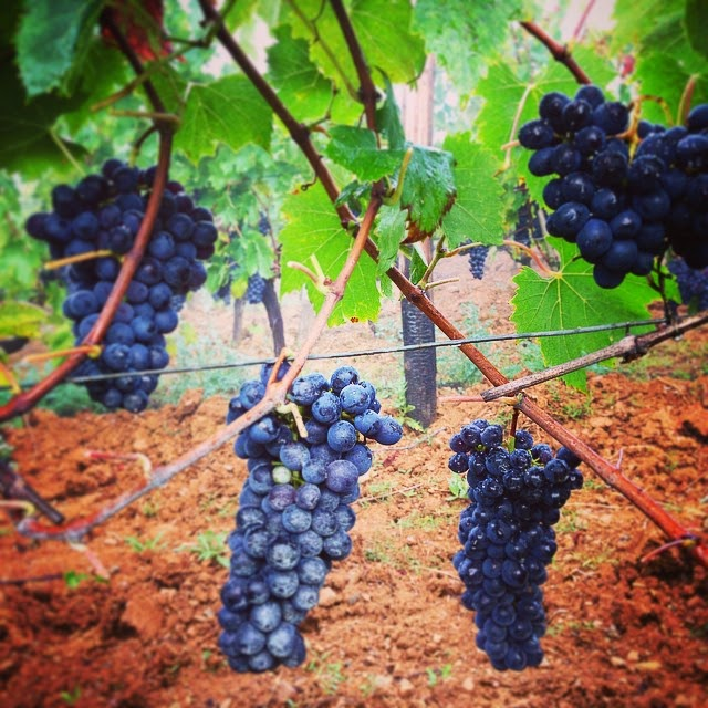 Ripe Sangiovese grapes in a Brunello vineyard