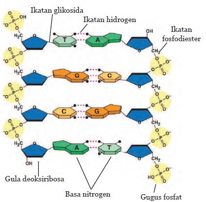 Pras Academy Smp Mengenal Materi Genetik Dna Dan Rna Persamaan Dan Perbedaannya