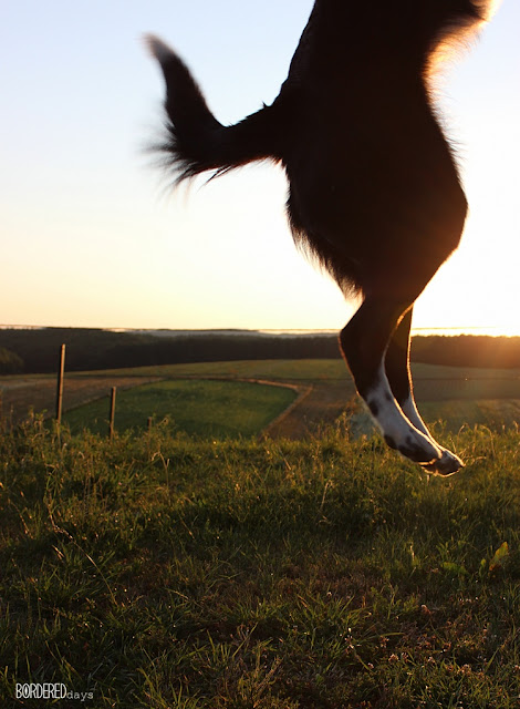 Border collie jumping out of the photo