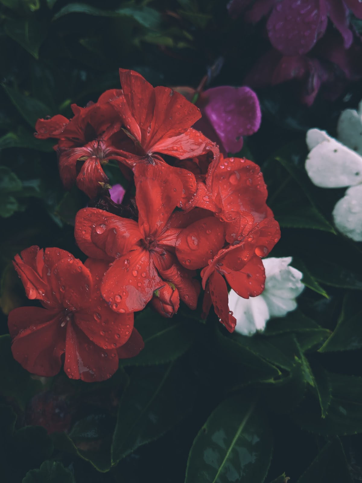 red flowers, flower wallpaper images
