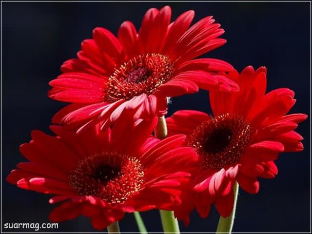 صور ورد - ورد احمر 8 | Flowers Photos - Red Roses 8