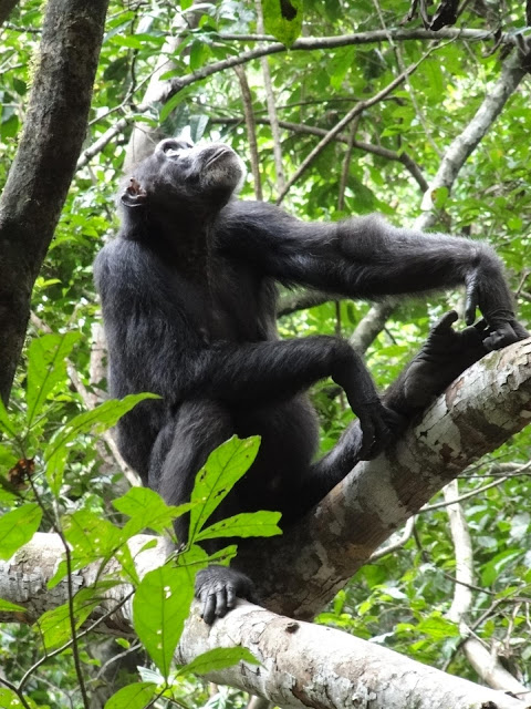How humans and chimpanzees travel towards a goal in rainforests