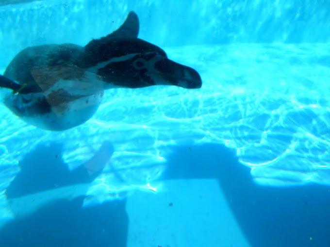134 #ペンギン #水族館 #動物 #風景 #鳥