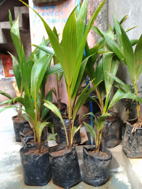 Coconut sapling plants