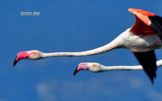 Μια οικογένεια φλαμίνγκο ξαποσταίνει στο Ναύπλιο - Όλα όσα δεν ξέρετε για τα εκπληκτικά αυτά πτηνά