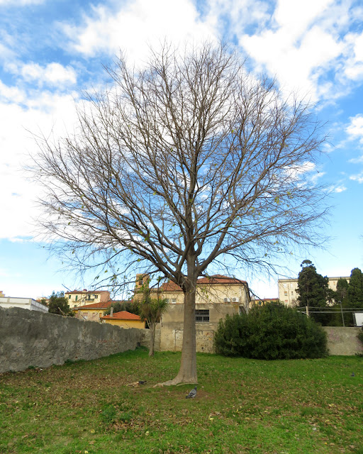 A lone tree, Parco Centro Città (City Center Park), Livorno