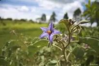 الآثار الجانبية لنبات جوربيبا وموانع إستخدامه