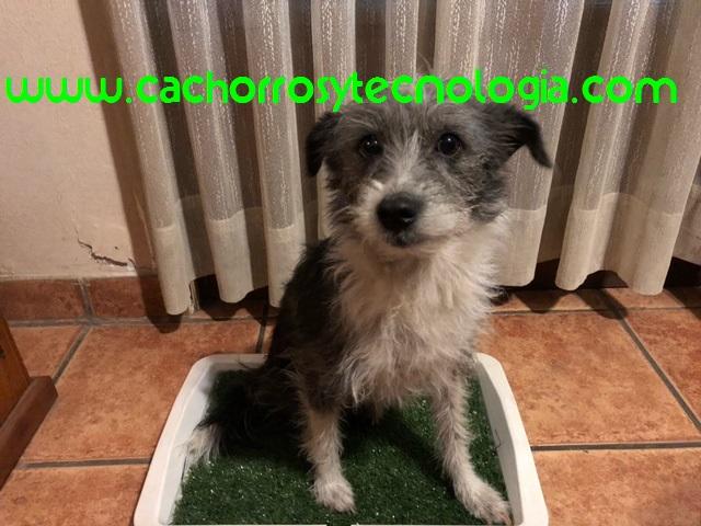 Cómo enseñar a tu cachorro a hacer sus necesidades donde tú quieres cachorros y tecnologia Peru España Chile Estados Unidos