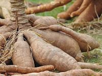 Budidaya Ketela Pohon atau Singkong Dengan Mudah! Dari Bibit Hingga Panen
