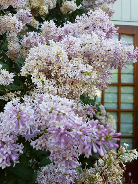 flowering french lilacs Hacquoil Rd. Thunder Bay
