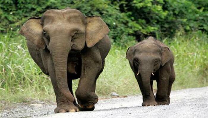 Nesli Tükenmek Üzere Olan Hayvanlar - Pigme Borneo Fili - Kurgu Gücü