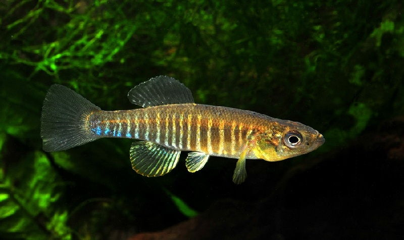 Gambar Ikan Ikan Pemakan Jentik Nyamuk - Ikan Fundulus diaphanus