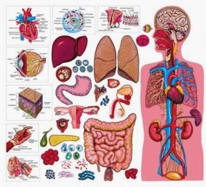 Organ dan Sistem Organ