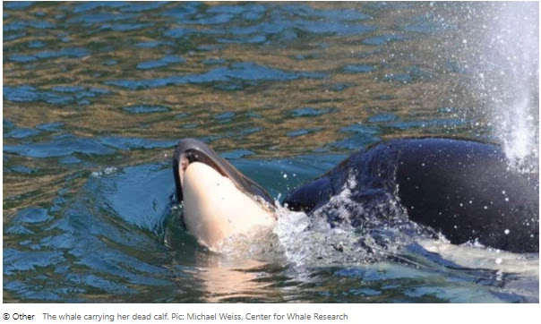 The killer whale that once carried a dead calf for 17 days in mourning is reborn