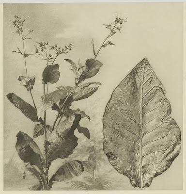 Nicotiana sylvestris - the flowering tobacco plant