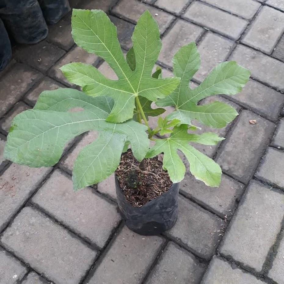 bibit buah tin green yordan Kepulauan Riau