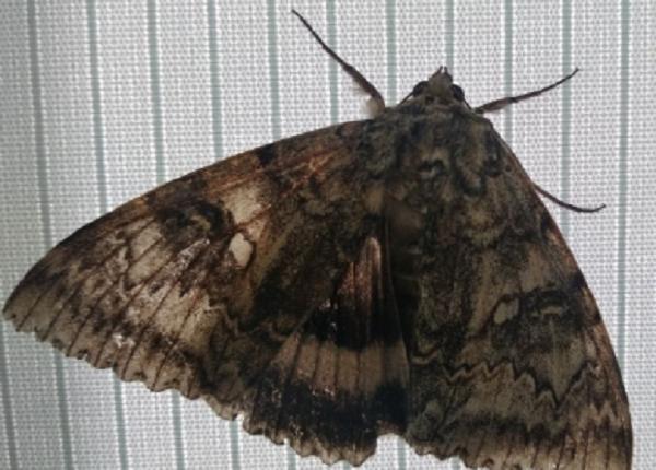 Chernobyl, scoperta farfalla mutate geneticamente delle dimensioni di un uccello