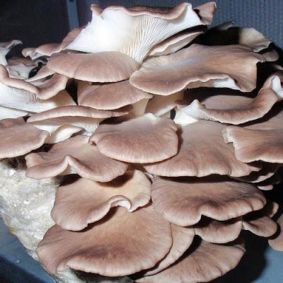 Mushroom Supplier Company in Bhopal
